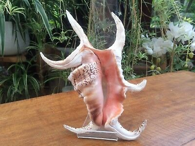 large shell crab shaped  shell beautiful decorative collectable seashell