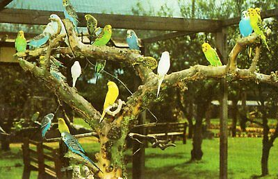 BUDGERIGARS -  POSTCARD. - POSTED & DATED 1970`s??.