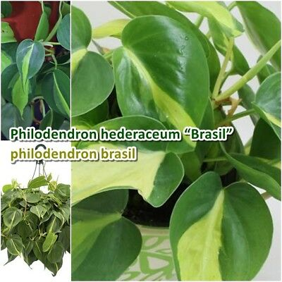 """Philodendron brasil Rare Houseplants Green/Yellow variegated Aroid Plant pot 4"""""""