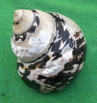 Large Turbo Borghese - Pearlized sea Shell - Mother of Pearl - Natural Polished