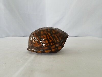 Taxidermy tortise shell