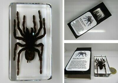 Real insects range Large Golden Orb spider with information card on gift box