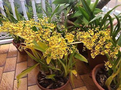 Oncidium - Dancing Lady Orchid