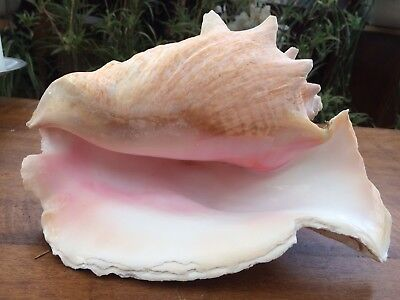 large pink conch seashell collectable perfect for air plant display shell