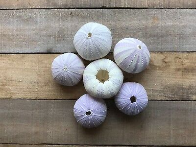 Sea Urchin | 5 Purple Sea Urchin Shell |5 Purple Sea Urchin Shells for Craft