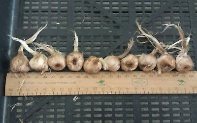 10 Saffron Crocus sativus corms ( LARGE bulbs).