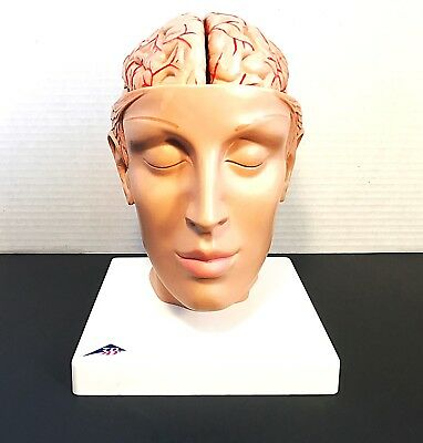 3B Scientific C25 Brain with Arteries on Base of Head, 8 part Anatomical Model