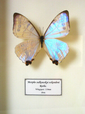 Real Mother Of Pearl Peruvian Butterfly Morpho Sulkowskyi Ockendeni Framed