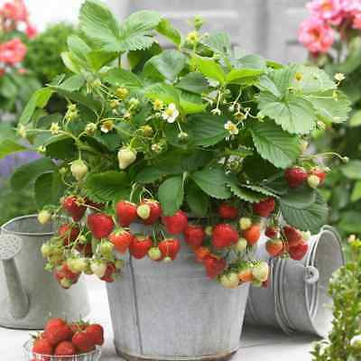 20 X Strawberry Sweetheart Bareroot Fruit Garden Plants Potting Grade