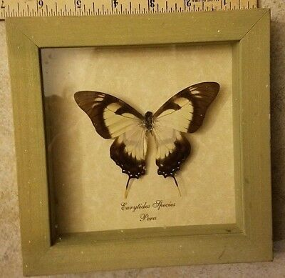 Real Light Green Framed Eurytides species Peru Butterfly Designs 6 X 6""