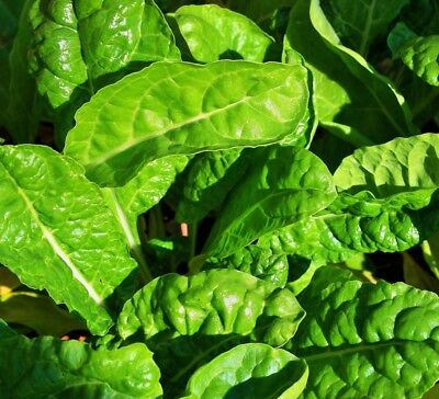 EARLY and HARDY! 25 Viroflex Winter Spinach seeds