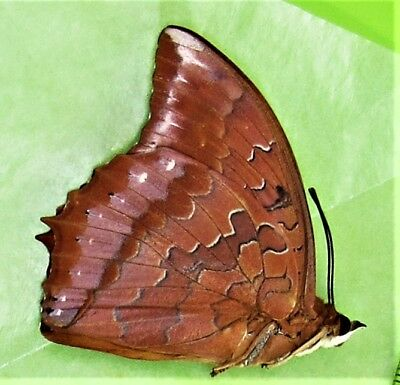 Sunset Charaxes Butterfly Charaxes harmodius martinus Male Folded FAST FROM USA
