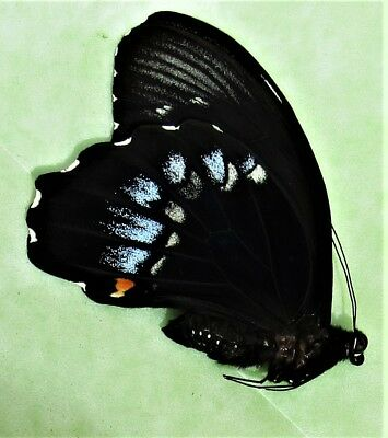 Seram Swallowtail Butterfly Papilio gambrisius gambrisius Male Folded FAST USA