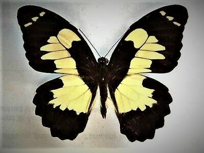 Huge Swallowtail Butterfly Papilio euchenor euchenor Male Folded FAST FROM USA