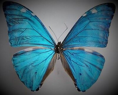 Blue Morpho Butterfly Morpho adonis huallaga Male Folded FAST FROM USA
