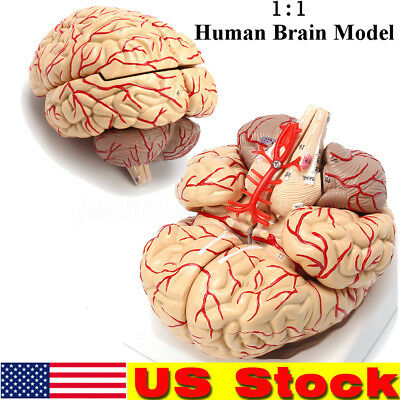 Life Size Human Anatomical Brain Artery Anatomy Medical Teach Model Professional