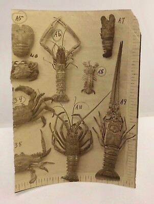 Antique 19thc Victorian Scientific Specimens Lobster Crabs Natural History Photo