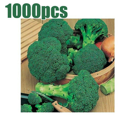 1000Pcs/Pack Organic  Broccoli Calabrese Early Green Sprouting Vegetable Seeds