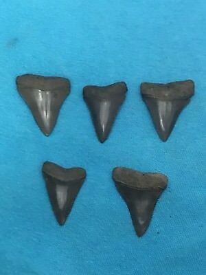 Lot Of 5 Great White's Megalodon Tooth Fossil Extinct Prehistoric Shark Teeth