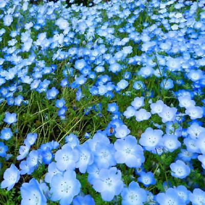 Flower Nemophila menziesii Baby Blue Eyes Appx 1500 seeds