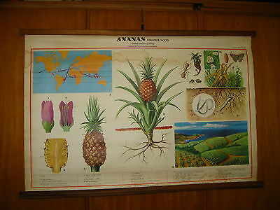 ITALY VALLARDI BOTANICAL ANANAS CULTIVATION SCHOOL MAP MAPPA CARTE KARTE 1960s