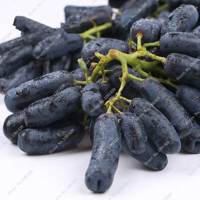 30 Pcs Rare Black Finger Grape Seed Heirloom Organic Fruit Seed Natural Growth