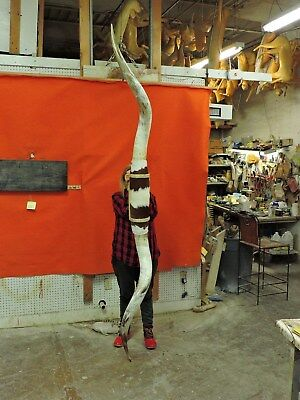 MOUNTED STEER Horns 8 FT 6 IN MOUNTED BULL Horns  COW TEXAS LONGHORN #2821