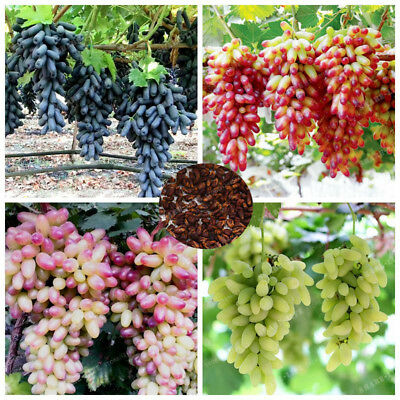 50 Pcs Very Rare Finger Grape Seeds Heirloom Organic Fruit Seed Natural Growth
