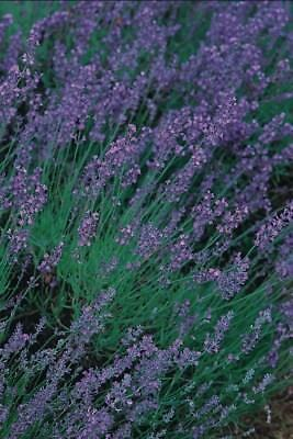 (335) 'KINGS' PREMIER QUALITY HERB  lavender vera  2500 seeds