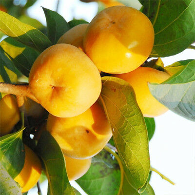 Persimmon Seeds Fruit Tree Seeds Persimmon Tree Seeds Fruit Seeds 20 Seeds