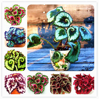 24 Colors 100PCS Beautiful Begonia Flower Seeds Flowers Potted Bonsai Garden