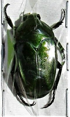 Lot of 2 Copper Flower Beetle Ischiopsopha ceramensis FAST SHIP FROM USA