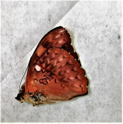 Scalloped Red Glider Butterfly Cymothoe excelsa Male Folded FAST FROM USA