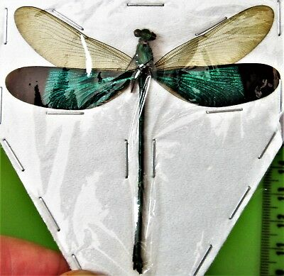 Lot of 10 Green Metalwing Damselfly Dragonfly Neurobasis chinensis Male FAST USA