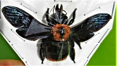 Unusual Asian Carpenter Bee Xylocopa sp. Female Spread FAST SHIP FROM USA