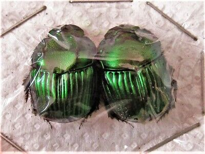 Emerald Dung Scarab Beetle Sulcophanaeus achilli Pair FAST FROM USA