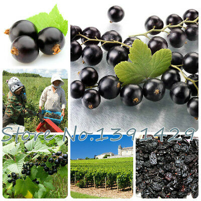 100pcs Fruit seeds Black Currant Berry Bush Seeds