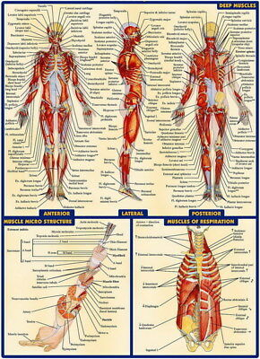 "003 Human System - Body Anatomical Chart Muscular Skeletal 24""x33"" Poster"