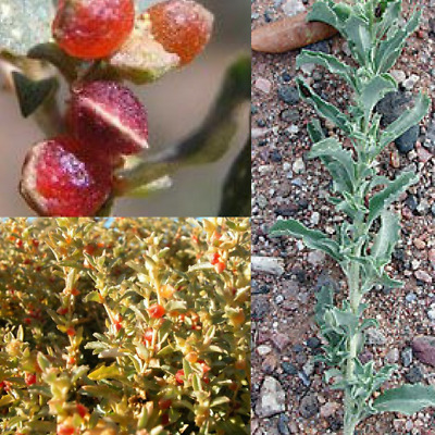CREEPING / BERRY SALTBUSH (Atriplex semibaccata ) Seeds 'Bush Tucker Plant'