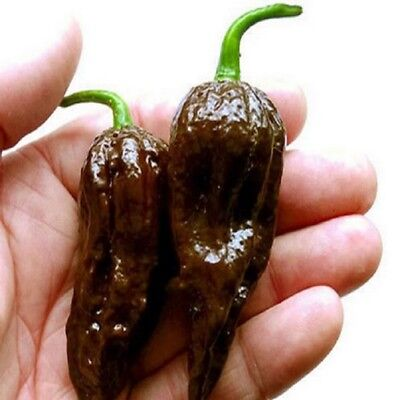 200 seeds / pack, Chocolate Naga Jolokia Chilli Seeds, Ghost Pepper