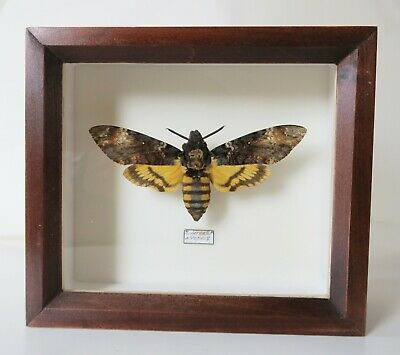 Real The Silence Of The Lambs: The Death's Head Moth Framed