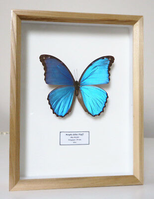 Real Metallic Blue Butterfly Morpho Didius Peru Framed