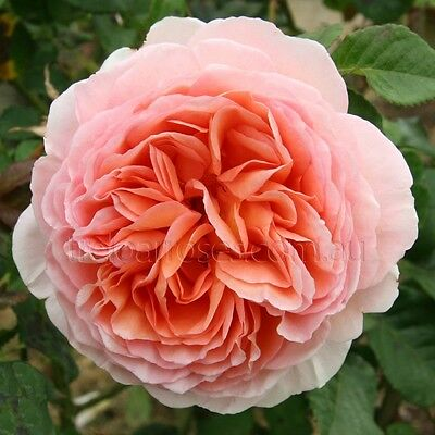 ABRAHAM DARBY English Rose Fragrant large pink-apricot-yellow flowers plant