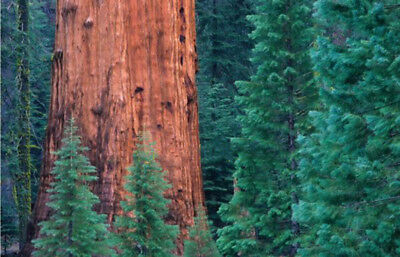 Giant Sequoia Seeds,Sequoia bonsai,rare ,fast growing, variety complete