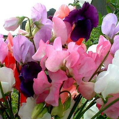 Sweet Pea Mammoth Mixed 1kg Appx 12,000 Flower seeds