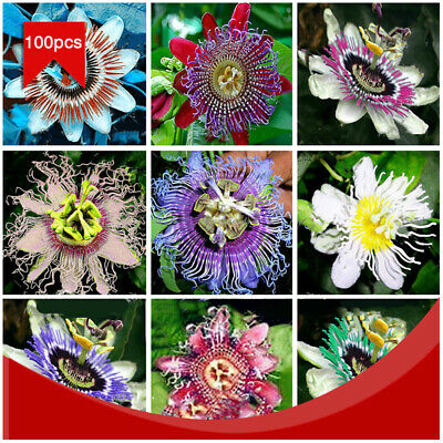 100Pcs/Pack Passion Flower Passiflora Seeds Incarnata Climbing Perennial Garden