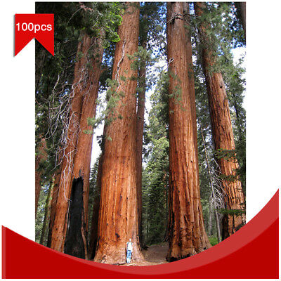 100Pcs Rare Giant Redwood Seeds Fast Growth Tree Plant Seeds Garden Decoration