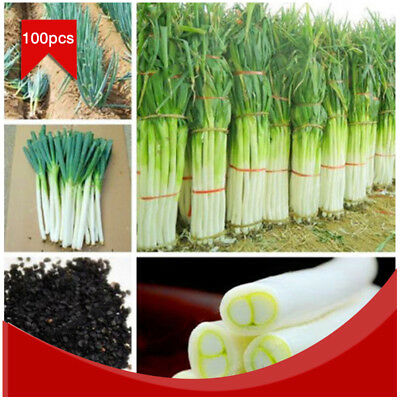 100Pcs/Pack Rare Giant Chinese Green Onion Seed Garden Bonsai Vegetable Plant