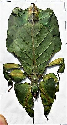 "Lot of 10 Leaf Mimic Phyllium pulchrifolium Green Female 3""+ FAST FROM USA"