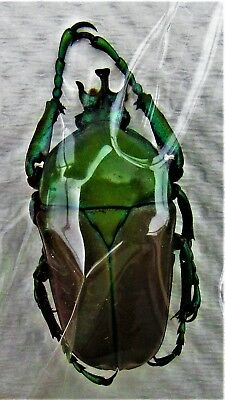 Lot of 10 Flower Beetle Neptunides stanleyi elgonensis Male FAST FROM USA